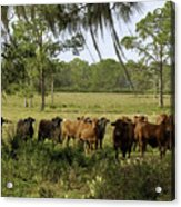 Florida Cracker Cows #3 Acrylic Print