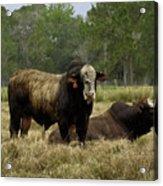 Florida Cracker Cows #4 Acrylic Print