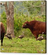 Florida Cracker Cows And Osceola Turkeys #2 Acrylic Print
