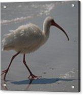 Florida Ibis 3 Acrylic Print