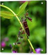 Florida Leaf-footed Bug Acrylic Print