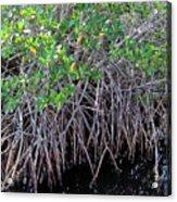 Florida - Mangroves Acrylic Print