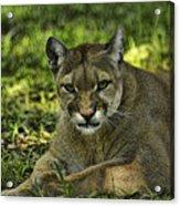 Florida Panther Agitated Acrylic Print