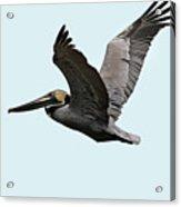 Florida Pelican In Flight Acrylic Print