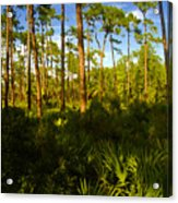 Florida Pine Forest Acrylic Print