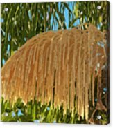 Florida Queen Palm Flower  Acrylic Print