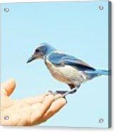 Florida Scrub Jay In Hand Acrylic Print