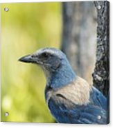 Florida Scrub Jay On Tree Trunk 2 Acrylic Print