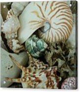 Florida Sea Shells Acrylic Print