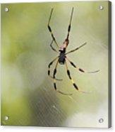 Florida Spider Acrylic Print