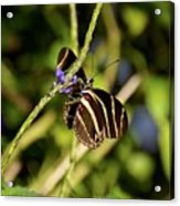 Florida State Butterfly Acrylic Print