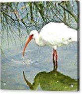 Florida Stork Acrylic Print