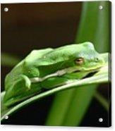 Florida Tree Frog Acrylic Print