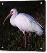 Florida White Ibis  Eudocimus Alba Acrylic Print