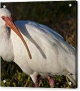 Florida White Ibis  Eudocimus Albus Acrylic Print