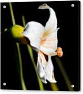 Floss Silk Bloom Acrylic Print