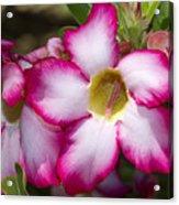 Flower 12 Pink White Yellow Acrylic Print