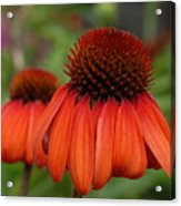 Flowers 729 Acrylic Print