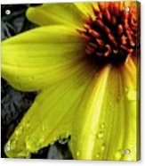 Flower After A Shower Acrylic Print