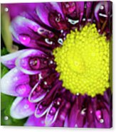 Flower And Droplets Acrylic Print