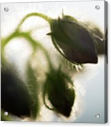Flower Buds Abstract Acrylic Print