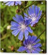 Flower Chicory Acrylic Print