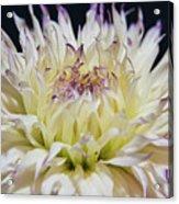 Flower Dahlia. Macro Acrylic Print