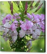 Flower Dew Beauty Acrylic Print