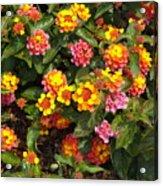Flower Explosion Acrylic Print