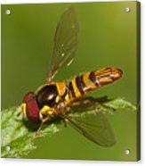 Flower Fly Allograpta Obliqua Acrylic Print