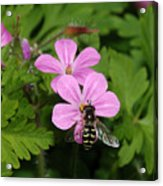 Flower Fly On Stinky Bob Acrylic Print