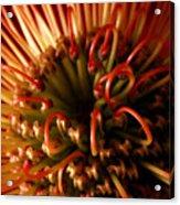 Flower Hawaiian Protea Acrylic Print