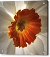 Flower Narcissus Acrylic Print