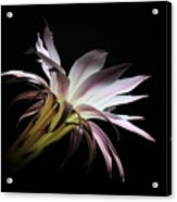 Flower Of Cactus Acrylic Print