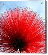 Flower Of Calliandra Haematocephala Acrylic Print