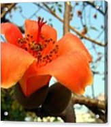 Flower Of The Red Silk Cotton Tree  Acrylic Print