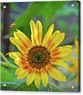 Flower Of The Sun Acrylic Print