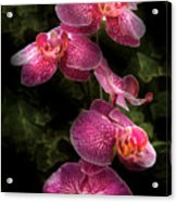 Flower - Orchid - Phalaenopsis - The Cluster Acrylic Print