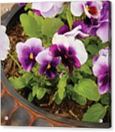 Flower - Pansy - Purple Pansies Acrylic Print