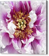 Flower Power In Pink Acrylic Print