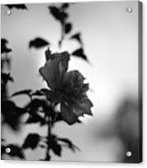 Flower Silhouette Acrylic Print