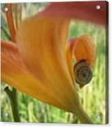 Flower Snail On An Orange Lily Acrylic Print