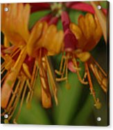 Flower Tongues Acrylic Print