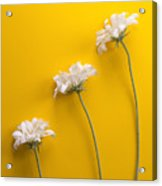 flower, white, three, online, Yellow Background, lateral, vertic Acrylic Print