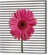 Flower With Lines Acrylic Print