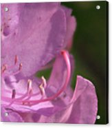Flower With Pistil And Stamens Displayed Acrylic Print