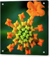 Flower2 Acrylic Print