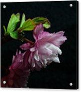 Flowering Almond 2011-15 Acrylic Print