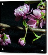 Flowering Almond 2011-16 Acrylic Print