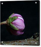 Flowering Almond 2011-20b Acrylic Print